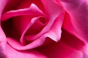 Close-up View of a Pink Rose